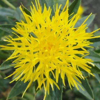 L'huile de carthame est une solution naturelle contre la couperose